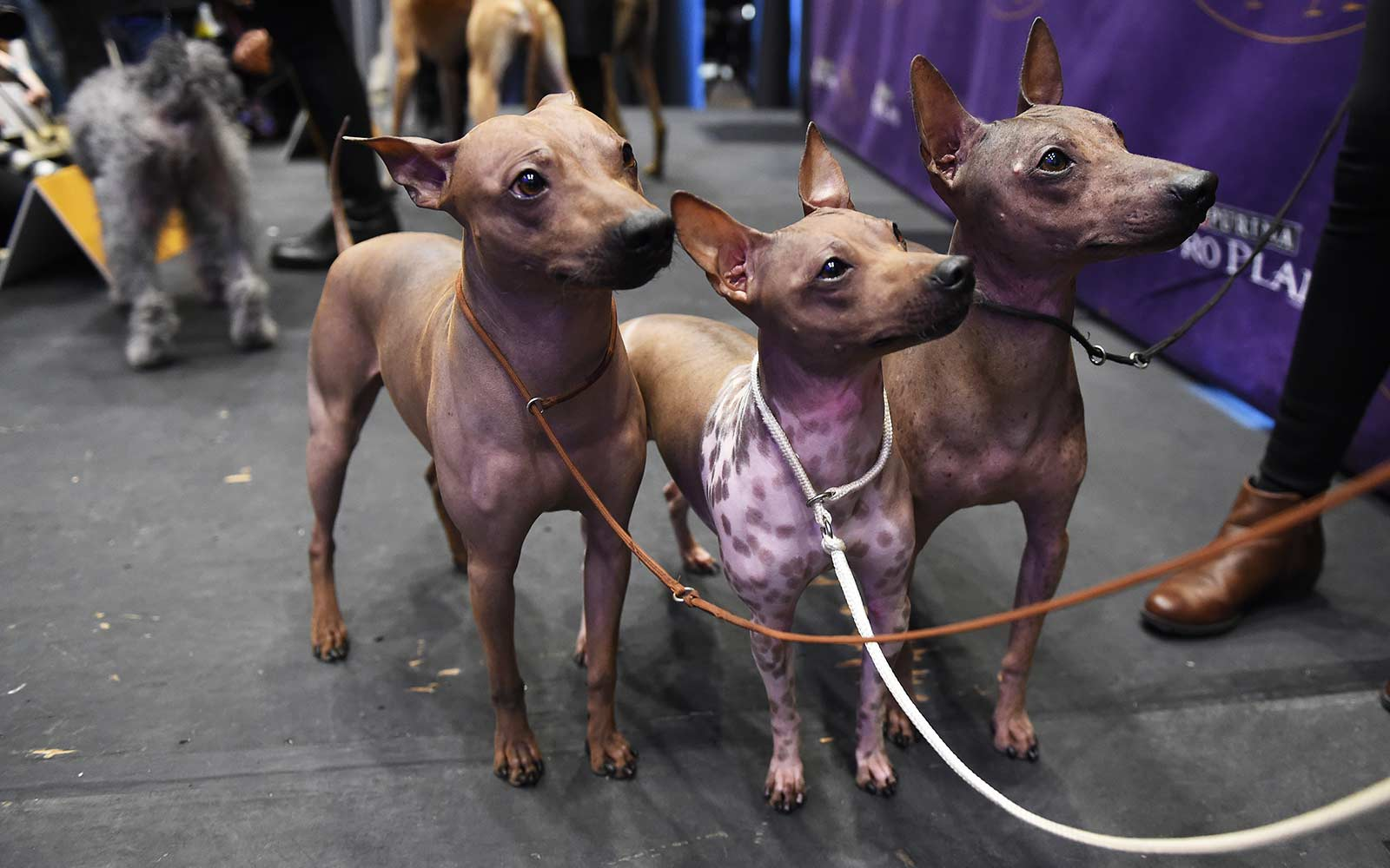 Westminster Kennel Club Dog Show - Cats