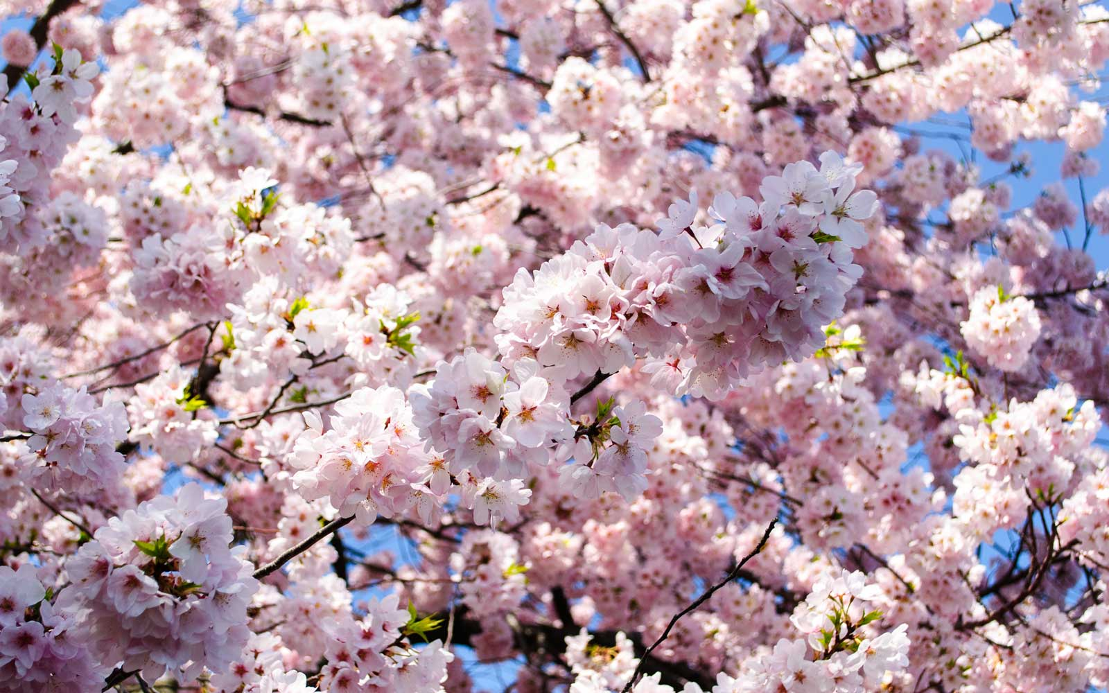 Here's When to Catch Cherry Blossoms in All Their Glory in D.C. This Year