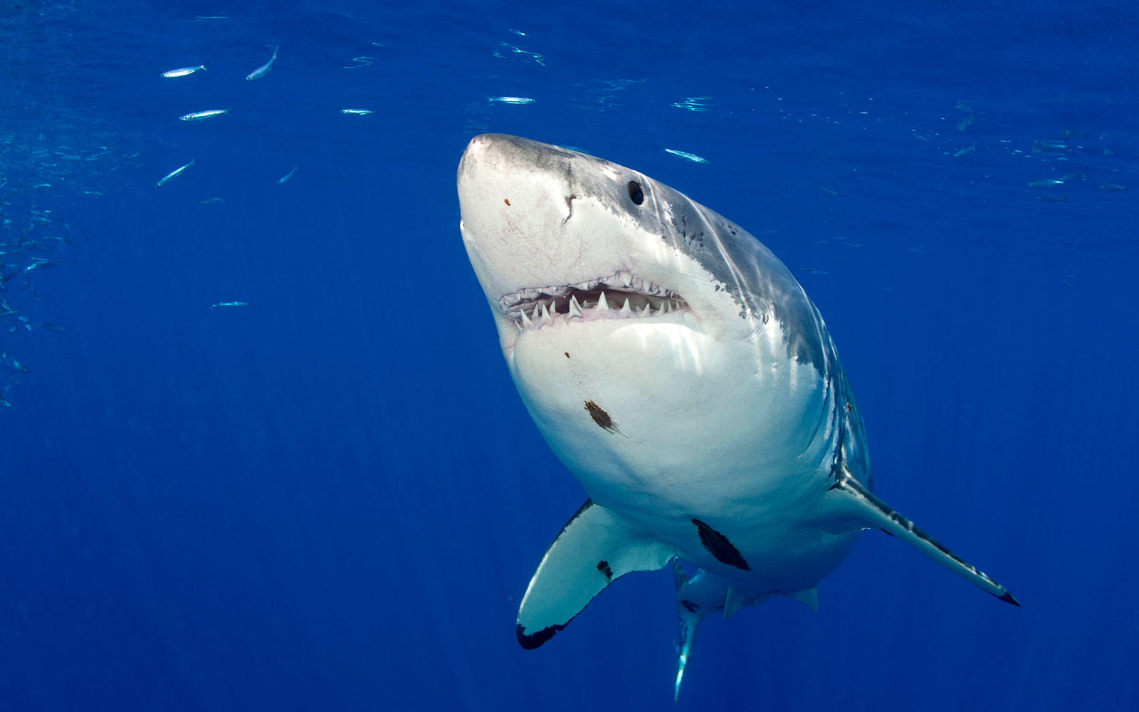Watch Out for Great White Sharks in Cape Cod This Summer