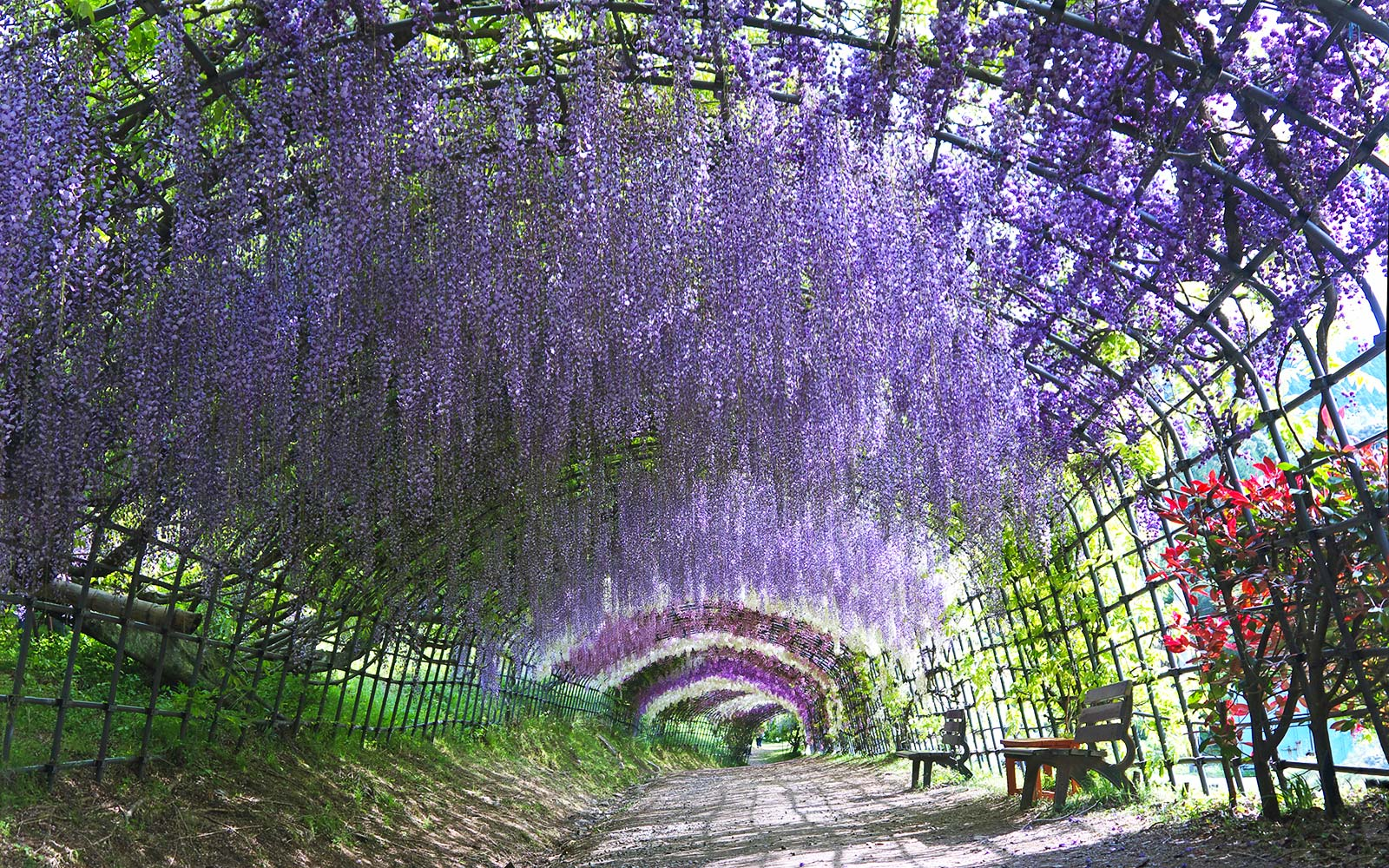 Take a walk through japan s magical wisteria tunnels Wisteria flower tunnel path in japan