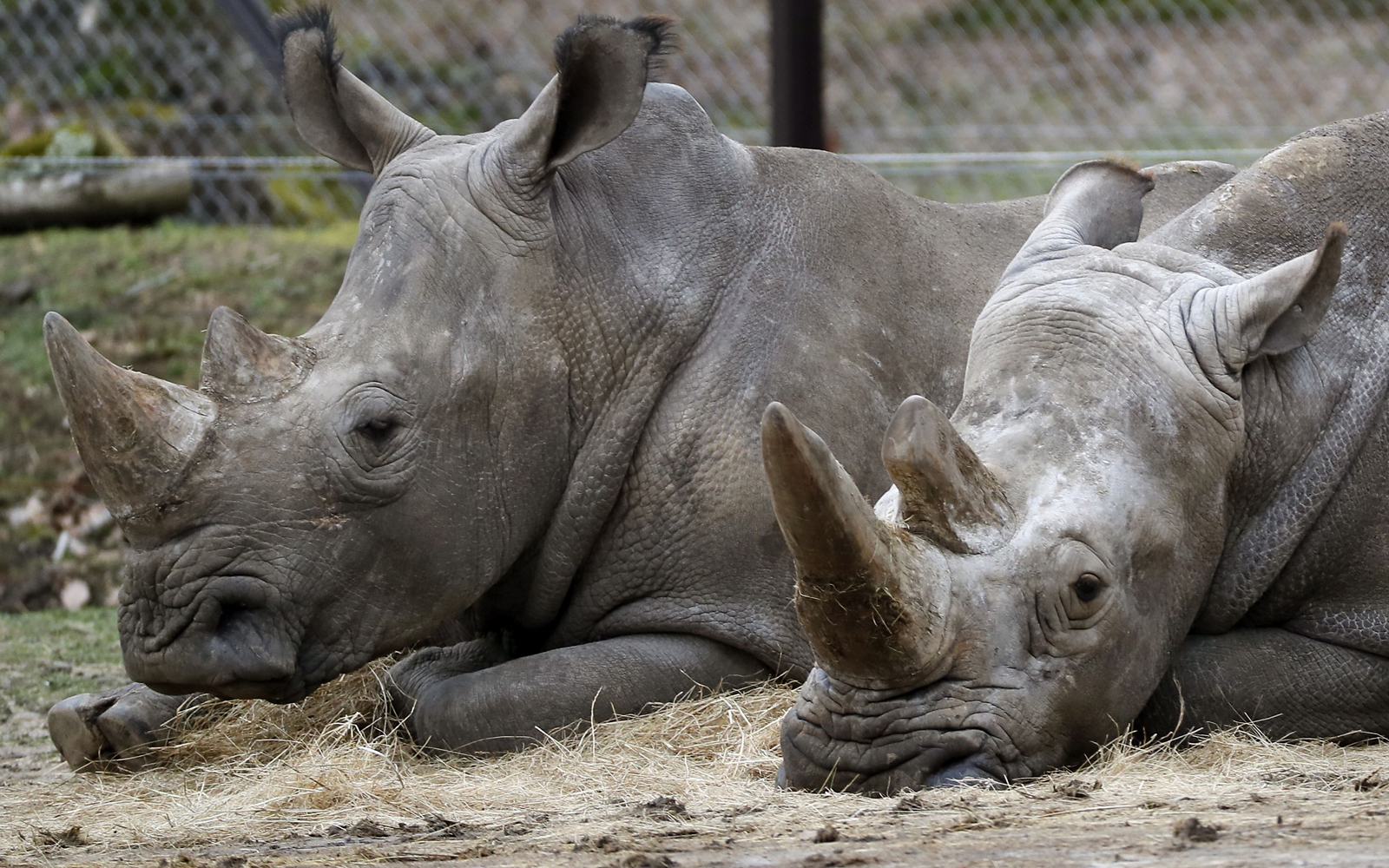 Czech Zoo Removing Rhinos' Horns to Ward Off Poachers