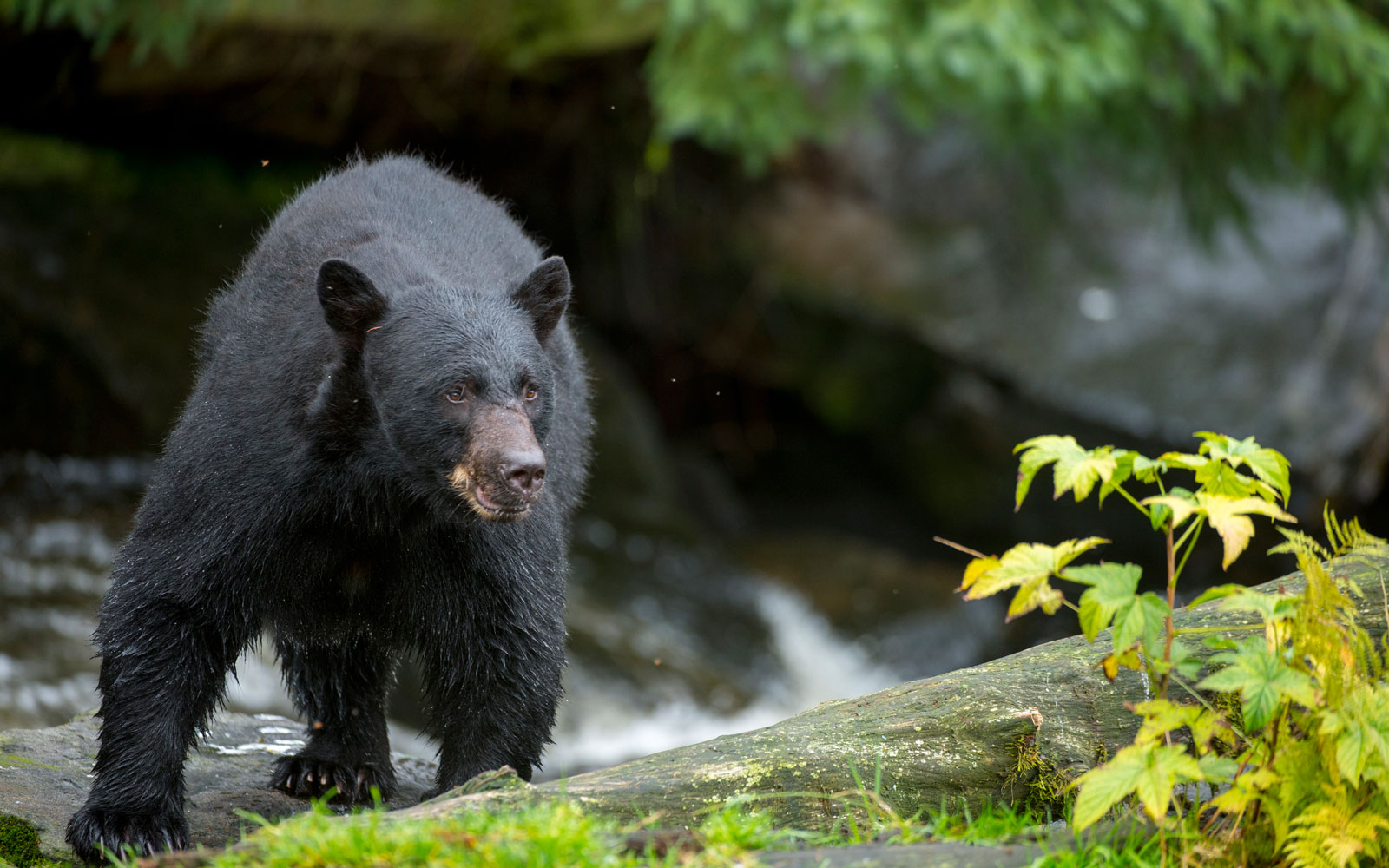 You Can Track Yosemite's Bears With This New Website