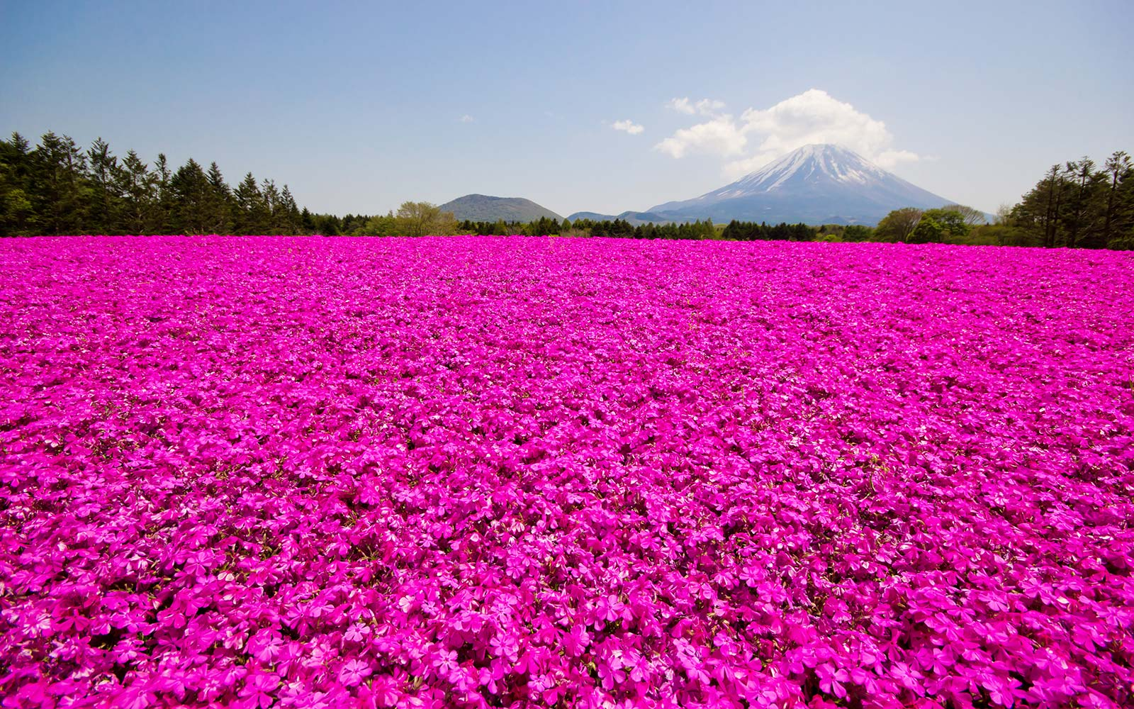 This Japanese Flower Festival Almost Doesn't Look Real