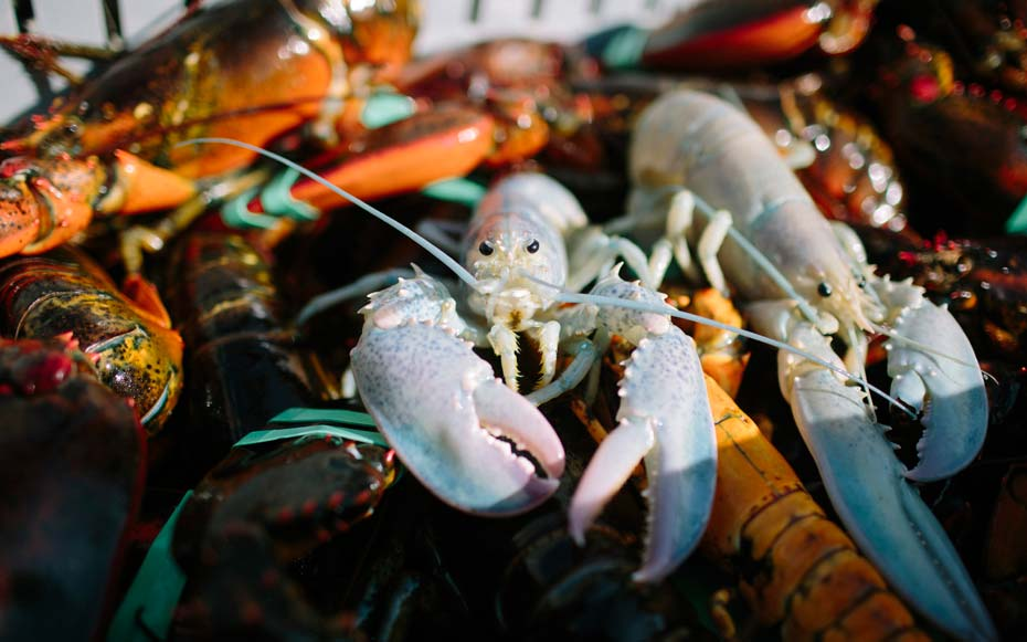 This recently caught ghost lobster is 1 in 100,000,000