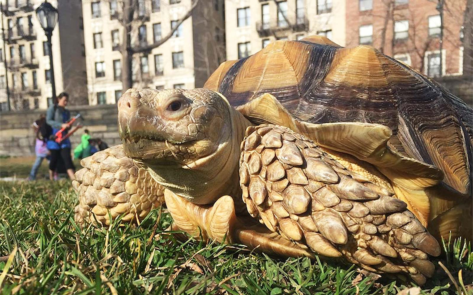 Walk Henry the tortoise in Central Park