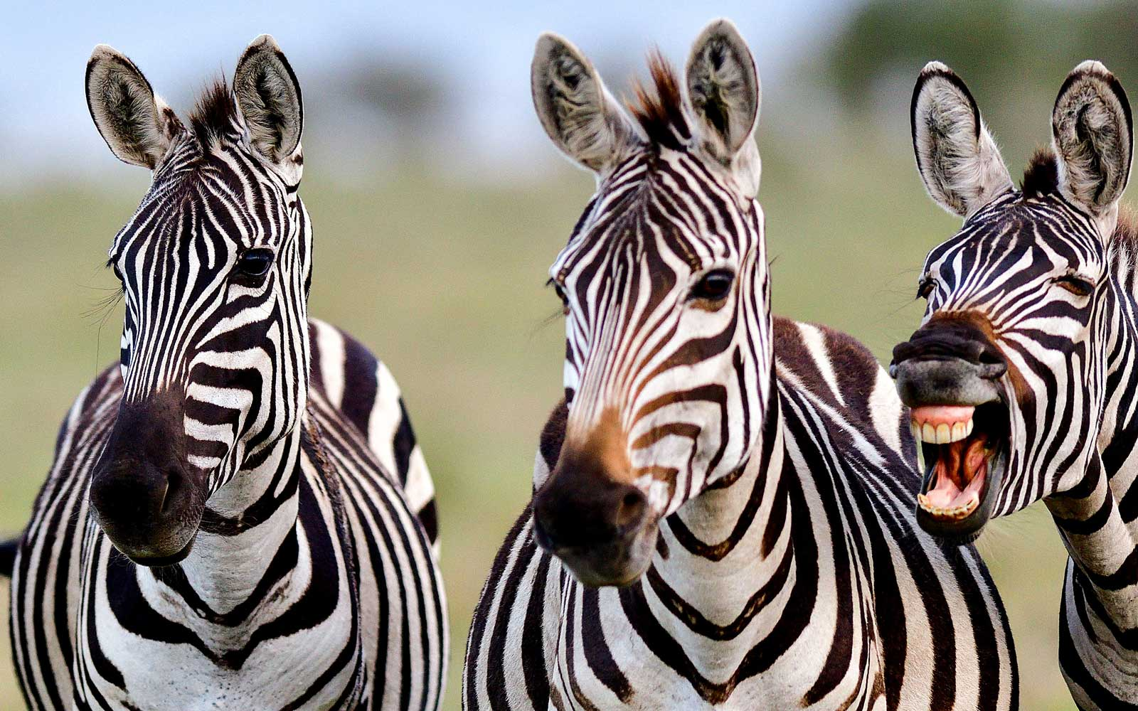 A Zebra appears to Photobomb his friends by pulling a silly face
