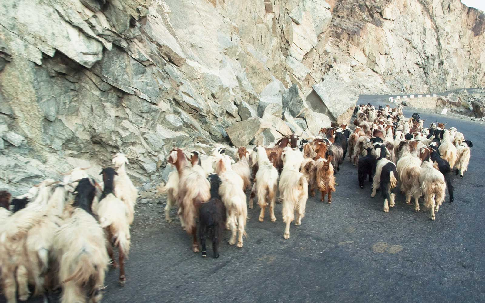 Shepherd And His Goats On The Karakoram Highway Near Chilas, Northern Areas, Pakistan