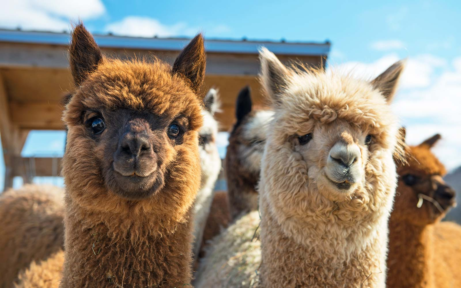 Take dance classes with alpacas at this canadian farm - Geschenke buchen ...