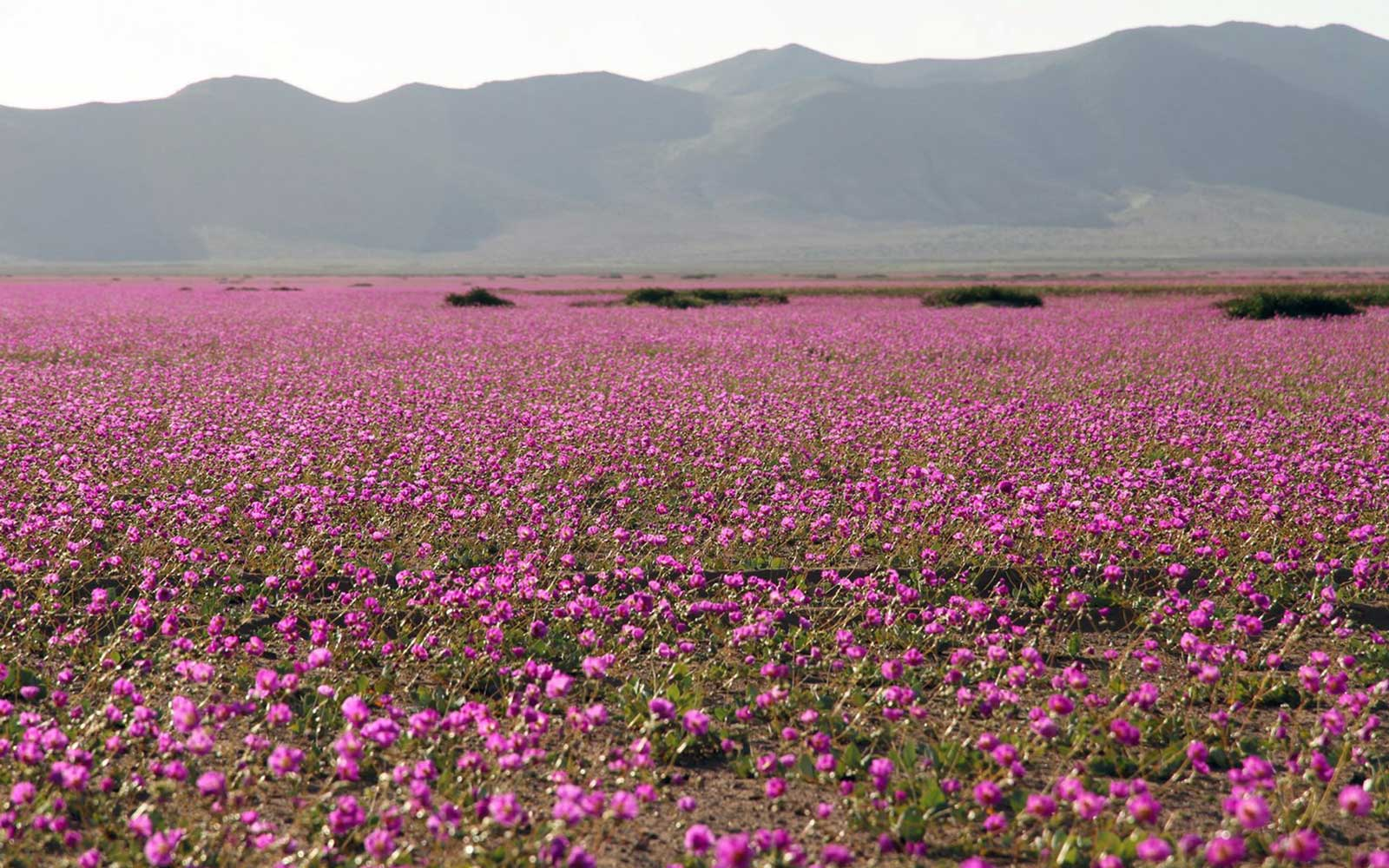 Chile's Atacama Desert is Once Again Covered in Wildflower Blooms
