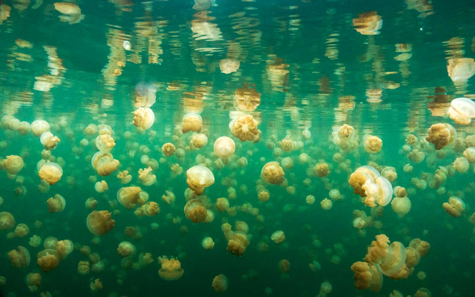 Swim With Jellyfish in Palau