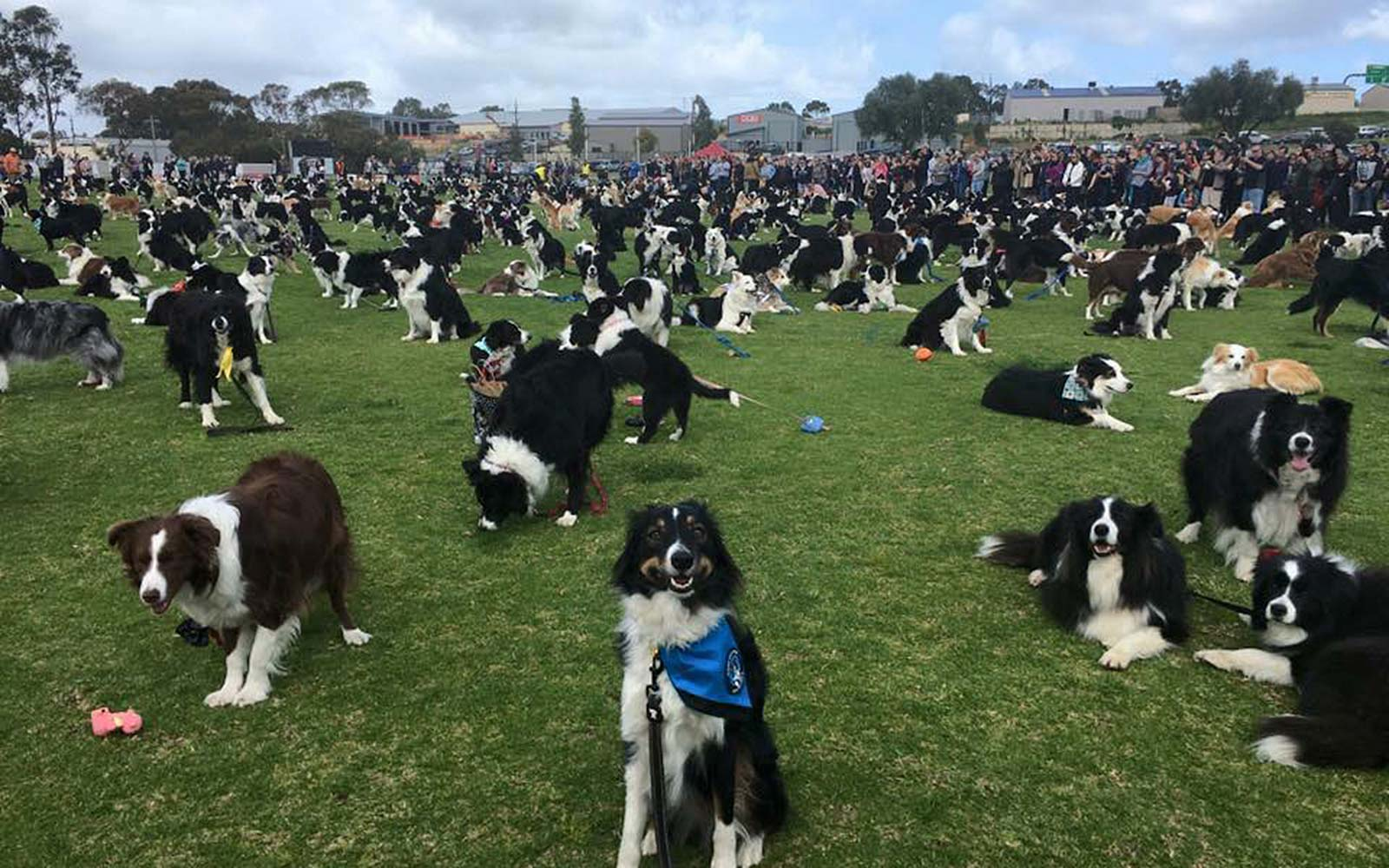 576 Border Collies Showed Up at a Park in Australia to Break a World Record