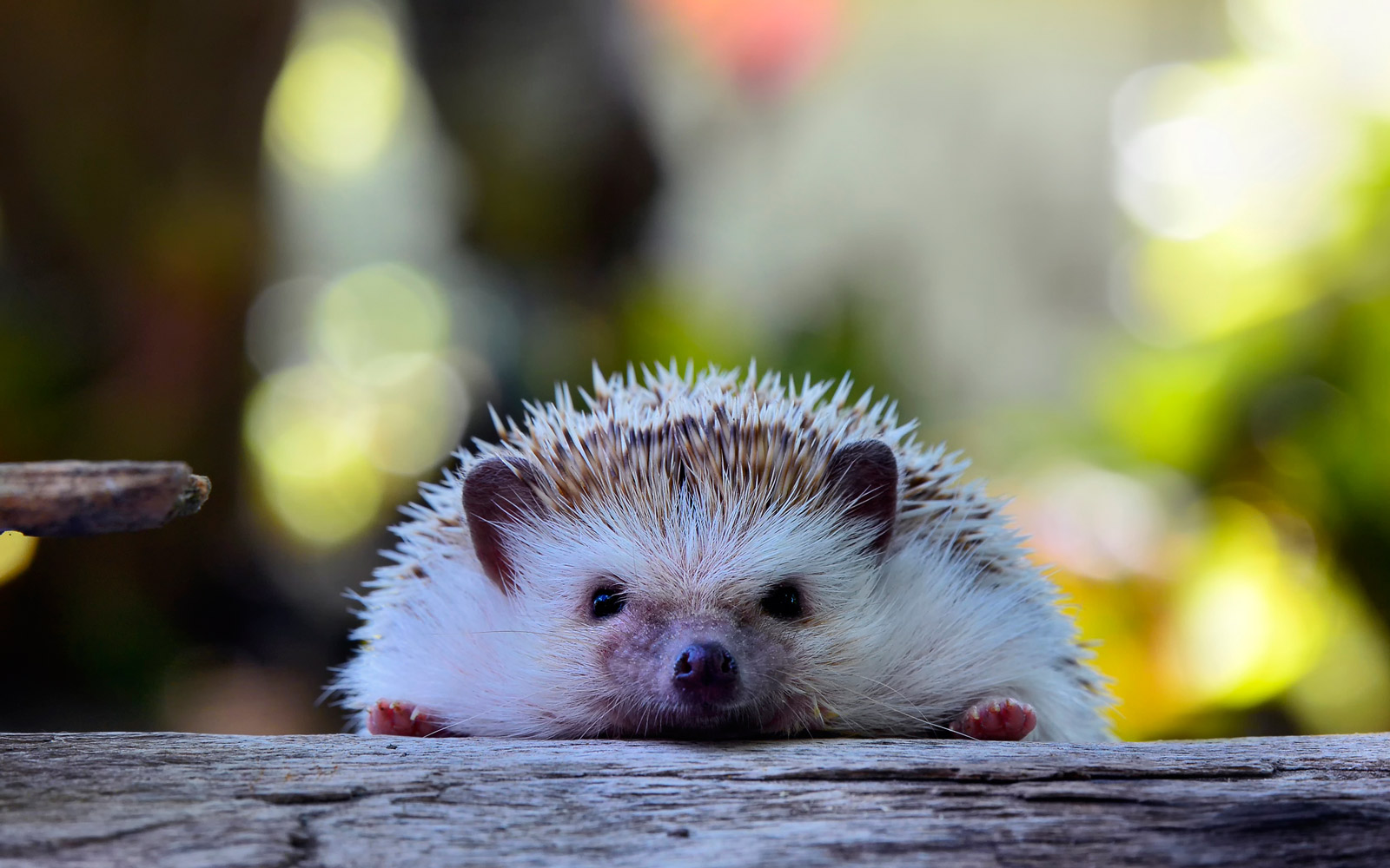 The Internet's New Best Friend Is a Hedgehog Who Loves to Camp