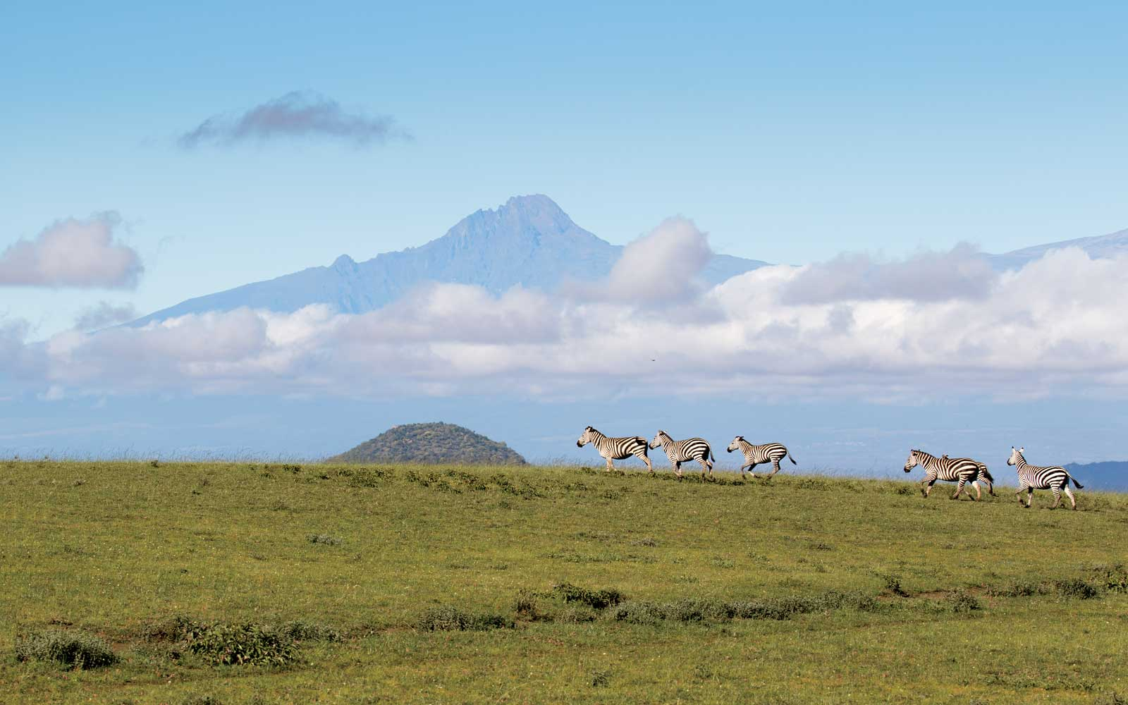 Zebras Running in front of Mt Kilimanjaro, Kenya