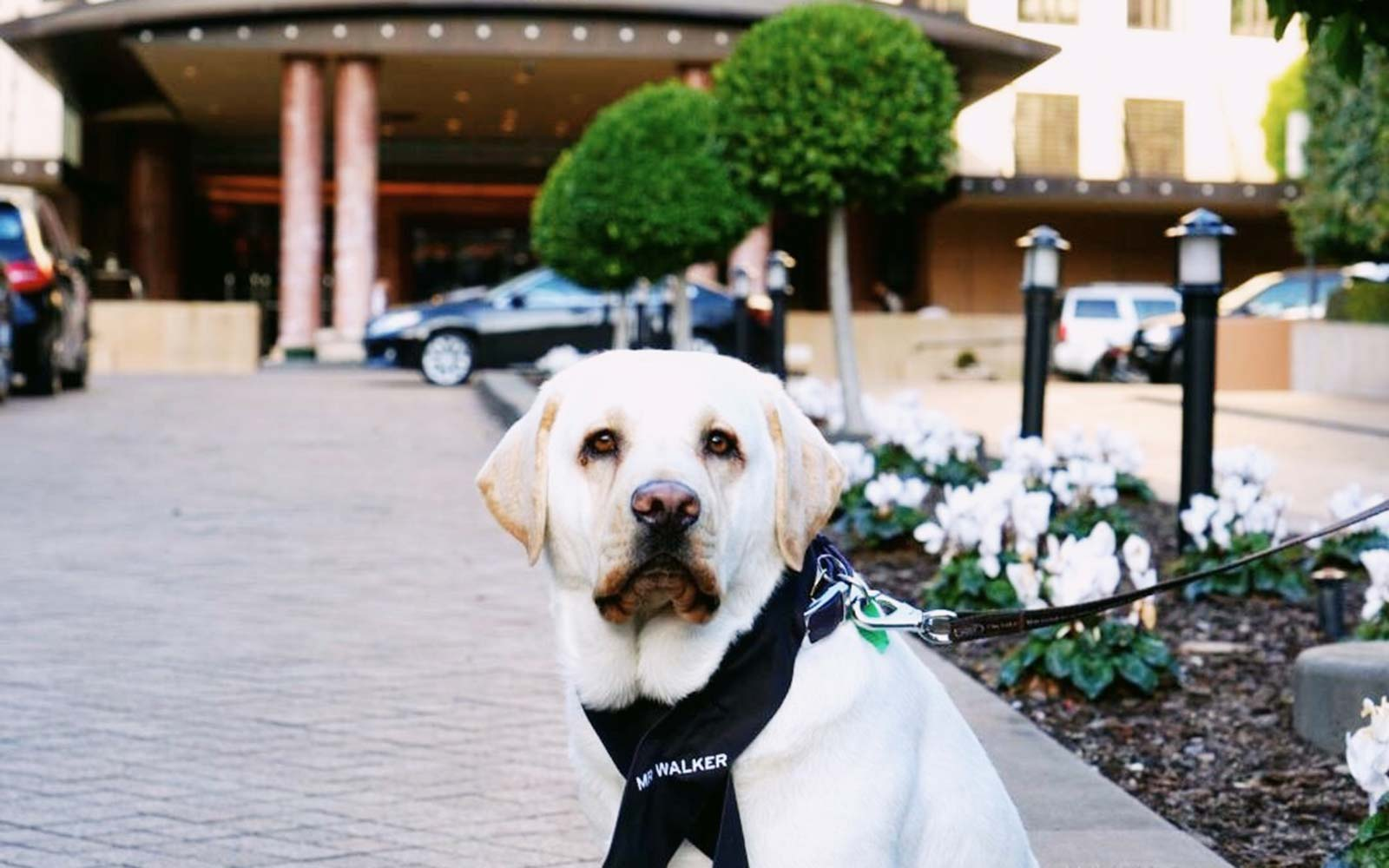 This Handsome Labrador Is a Dog Concierge at a Hotel in Australia