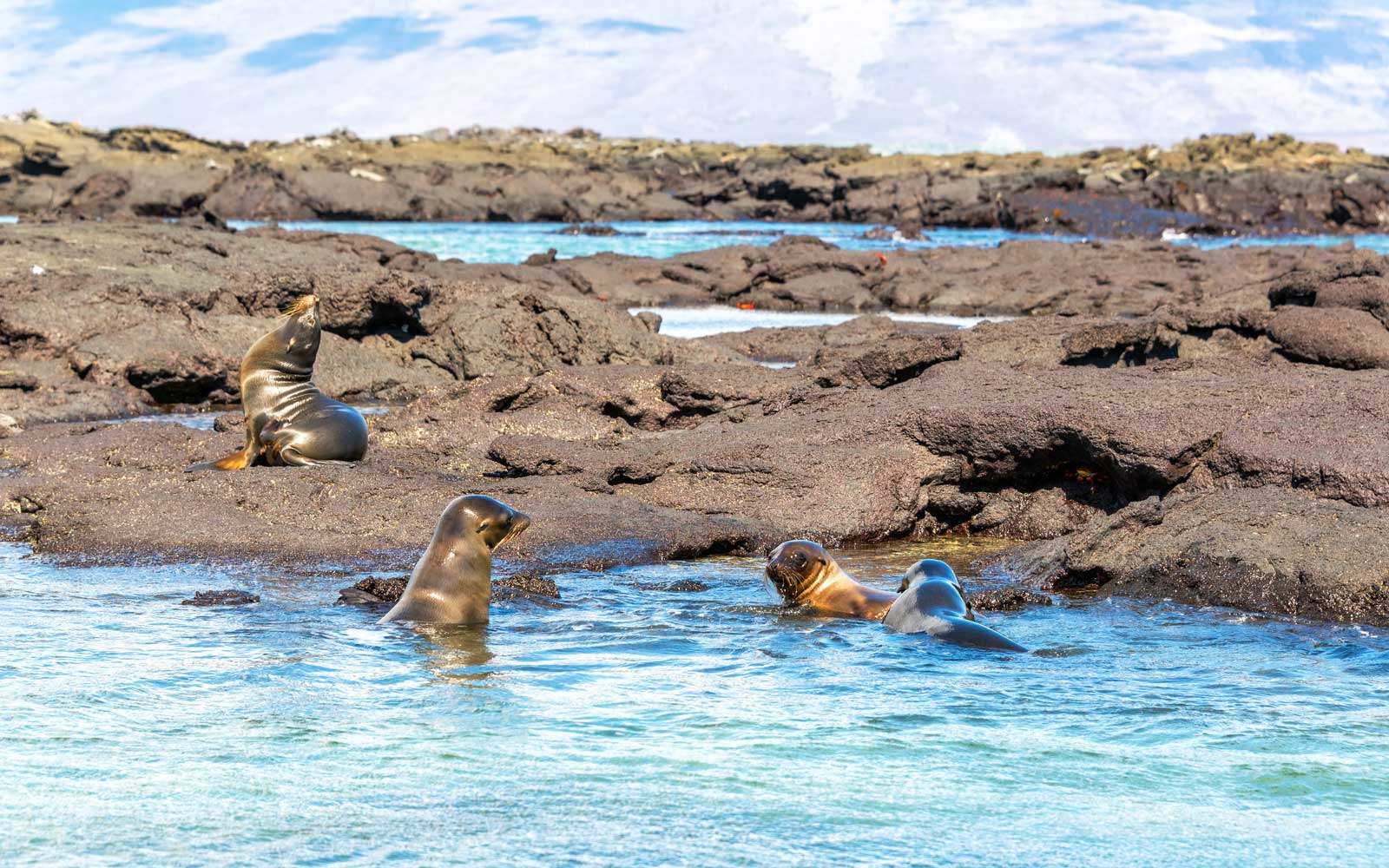 Galapagos Sea Lions Galapago Islands