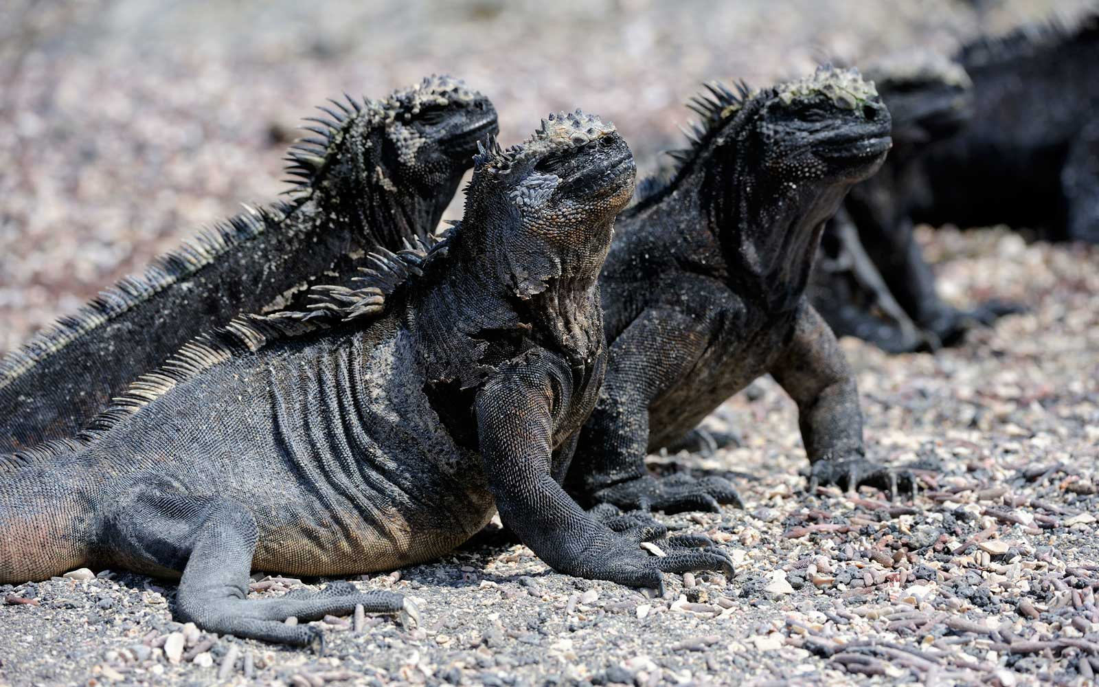 Marine Iguanas Galapago Islands