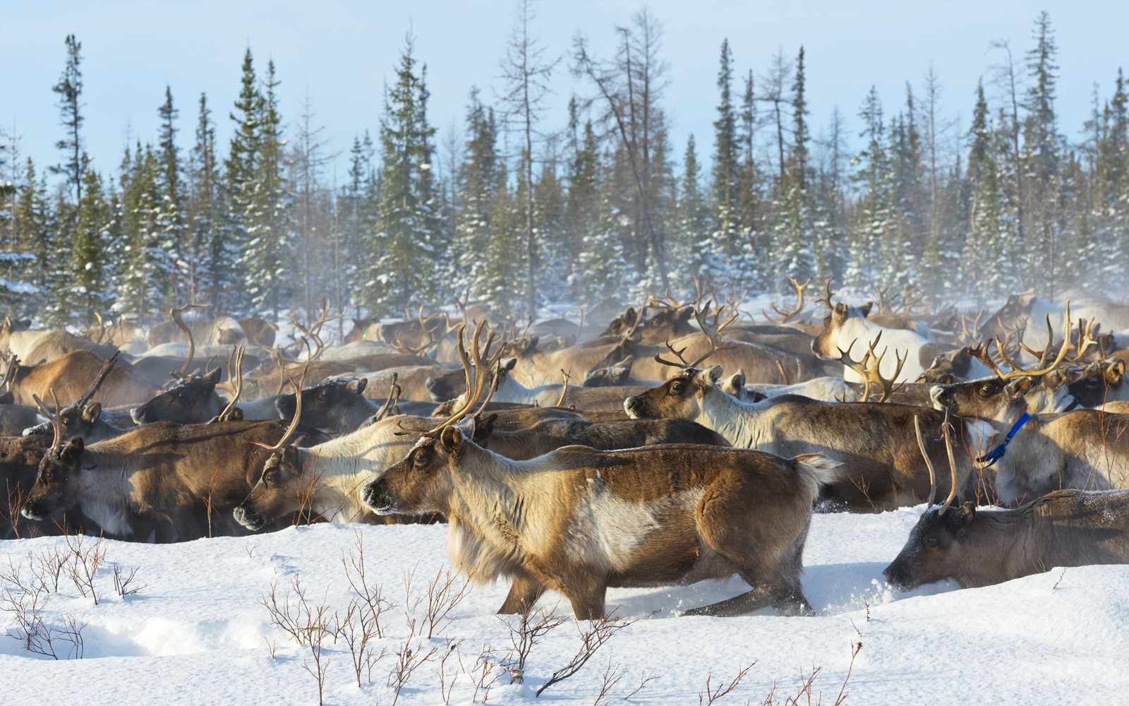 The reindeer Rangifer tarandus also known as the caribou in North America is a species of deer with circumpolar distribution native to Arctic subArctic tundra boreal and mountainous regions of northern Europe Siberia and North America This includes both sedentary and migratory populations