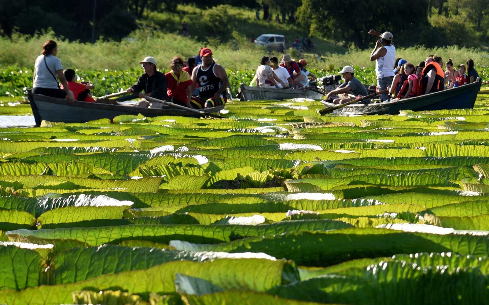 Paraguays Giant Lily Pads Magically Reappeared After Everyone
