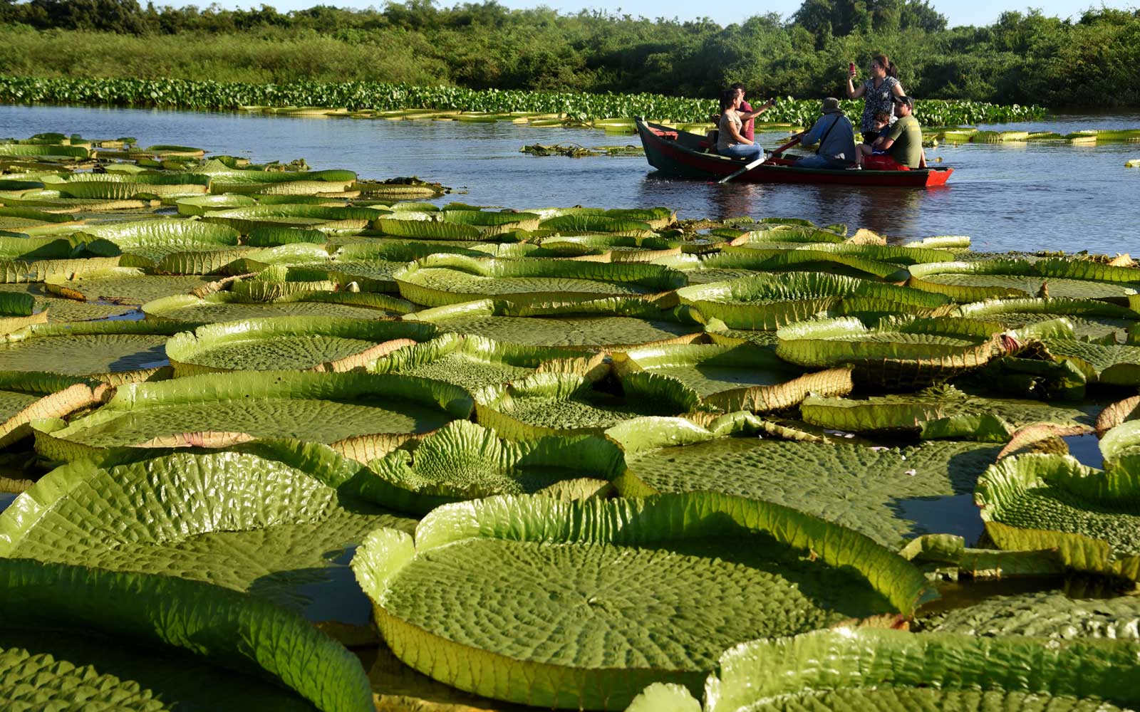 Giant water lilies in Paraguay River in Piquete Cue just north of Asuncion, on January 8, 2018.