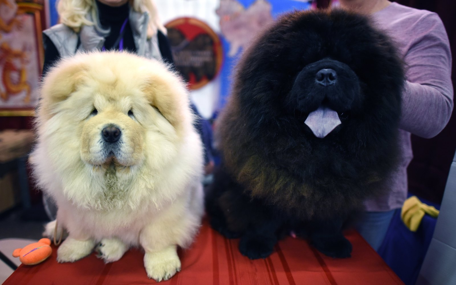 chow chow dogs compete westminster dog show 2018