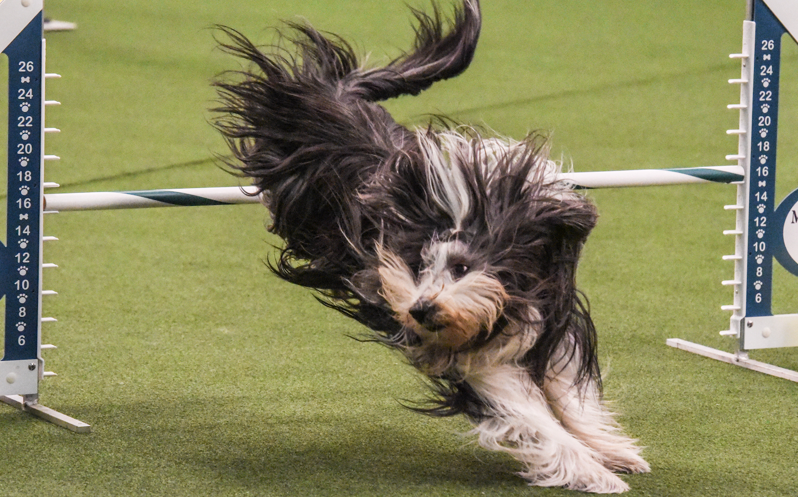 dog competing in the westminster agility 2018 competition