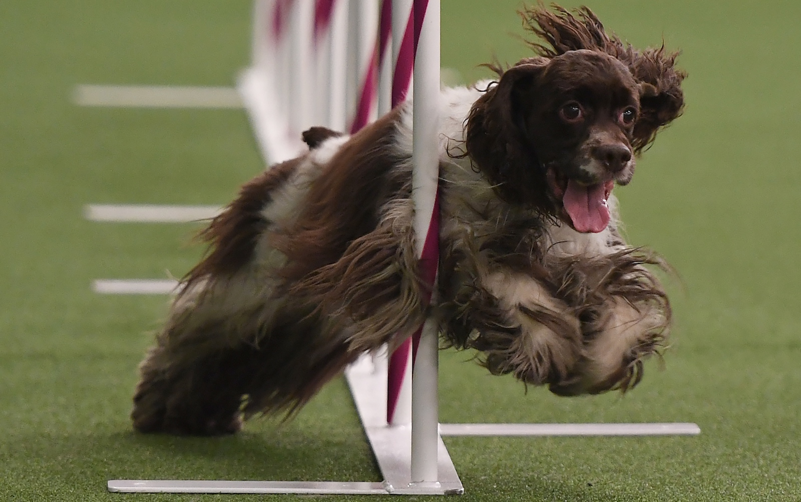 westminster agility 2018 results