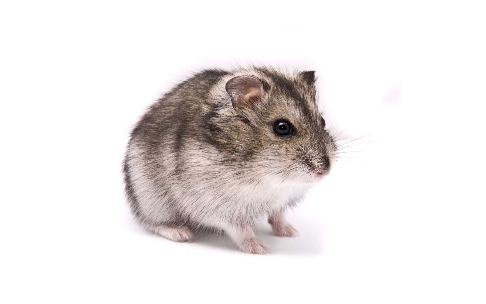 Student Claims Spirit Airlines Agent Pressured Her to Flush Her Emotional Support Hamster Down The Toilet