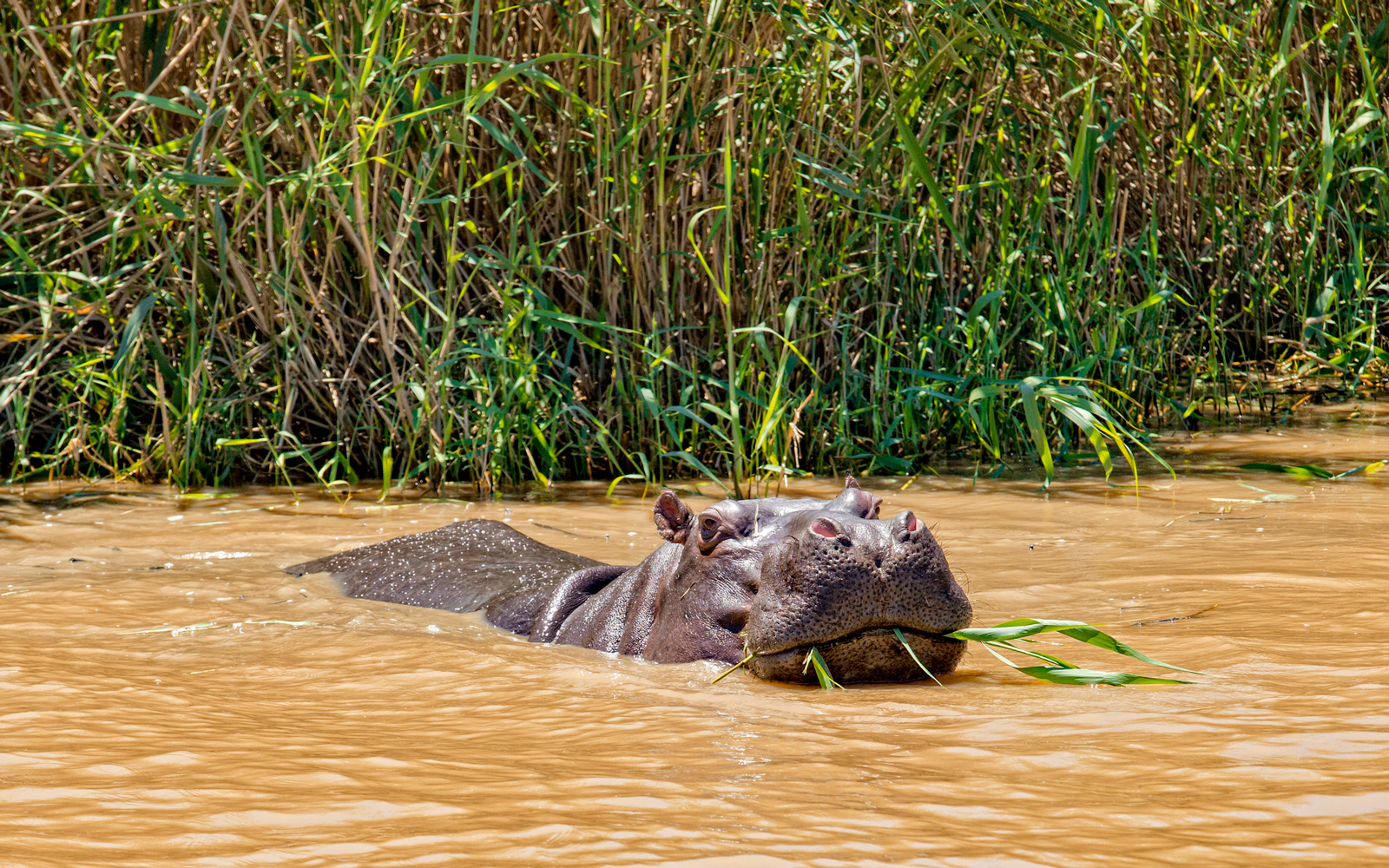 Hippo Garden route eating reed
