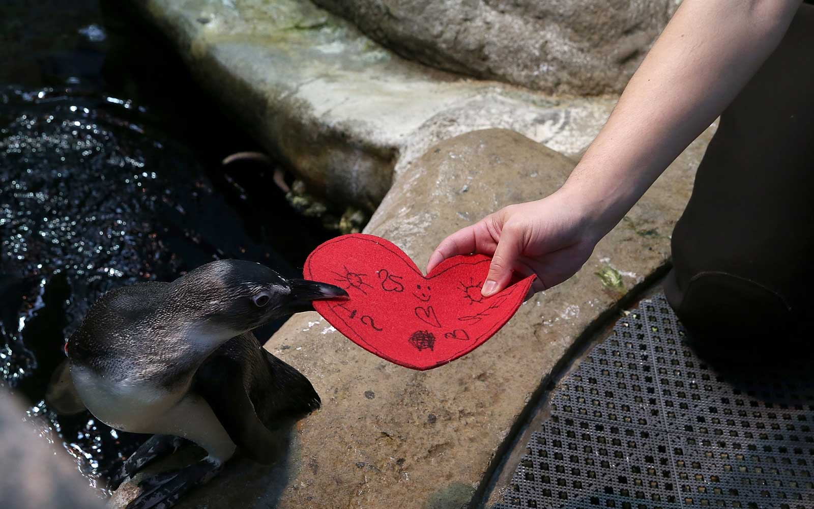 California Academy of Sciences senior biologist Jarrod Willis gives an African Penguin a Valentine's Day card at the California Academy of Sciences