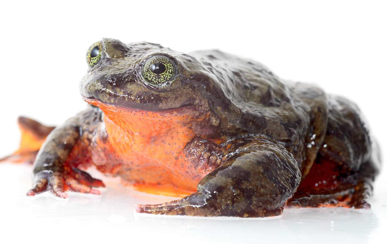 Help Romeo, the World's Loneliest Frog, Find His Juliet by Valentine's Day
