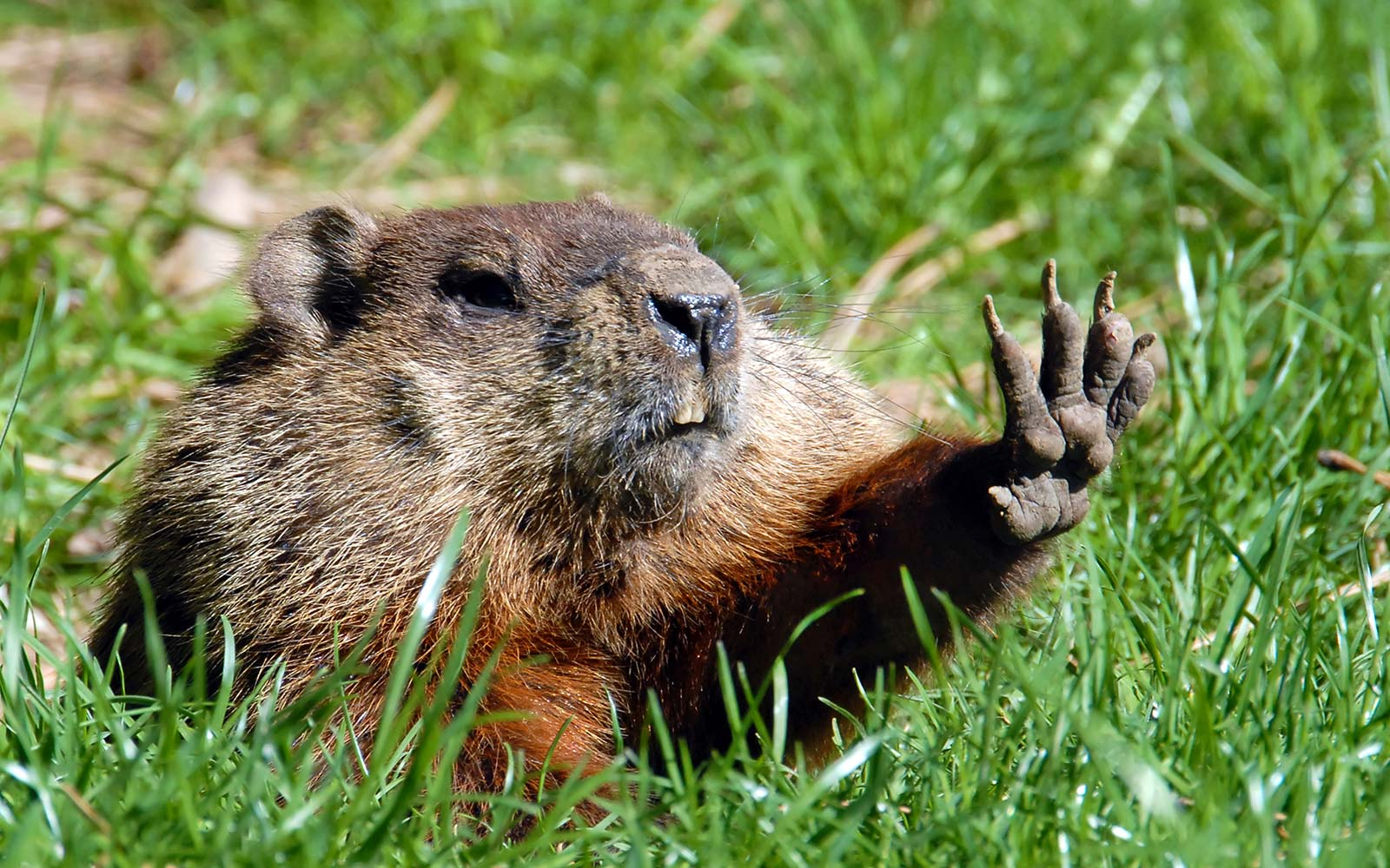 Groundhog Shadow Winter Spring Prediction