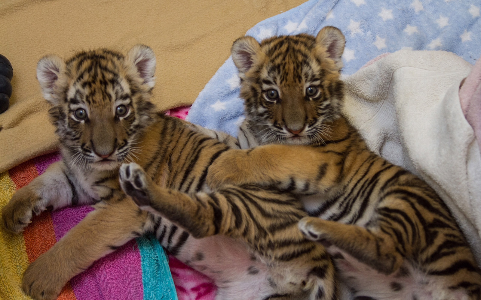 Tiger Cubs at Connecticut's Beardsley Zoo