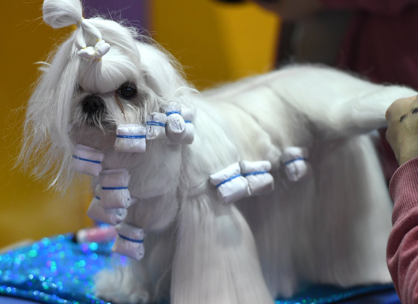 primping at westminster dog show 2018