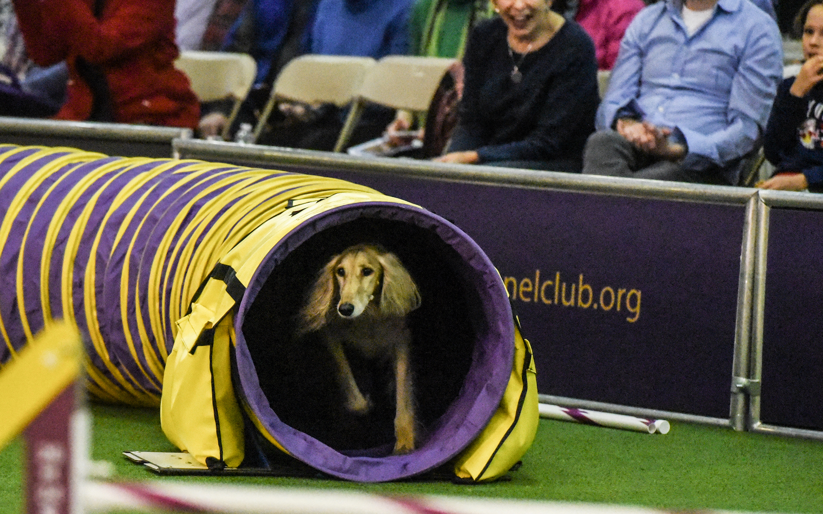 westminster kennel club agility 2018 results