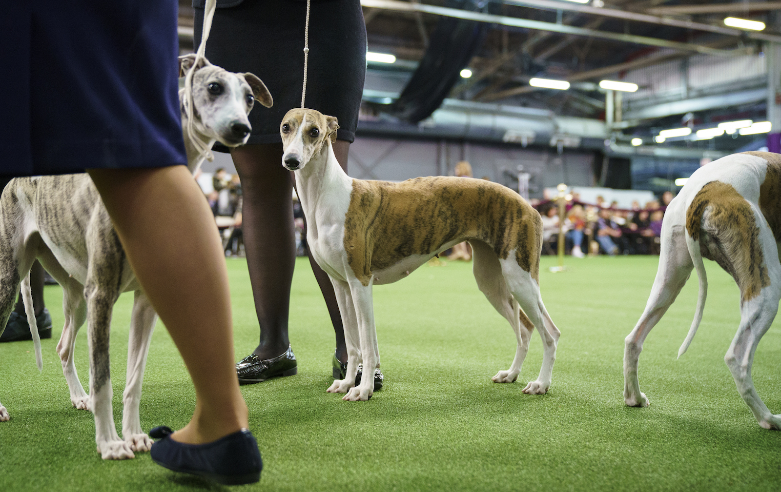 Whippets compete at the 142nd Westminster Kennel Club Dog Show at The Piers