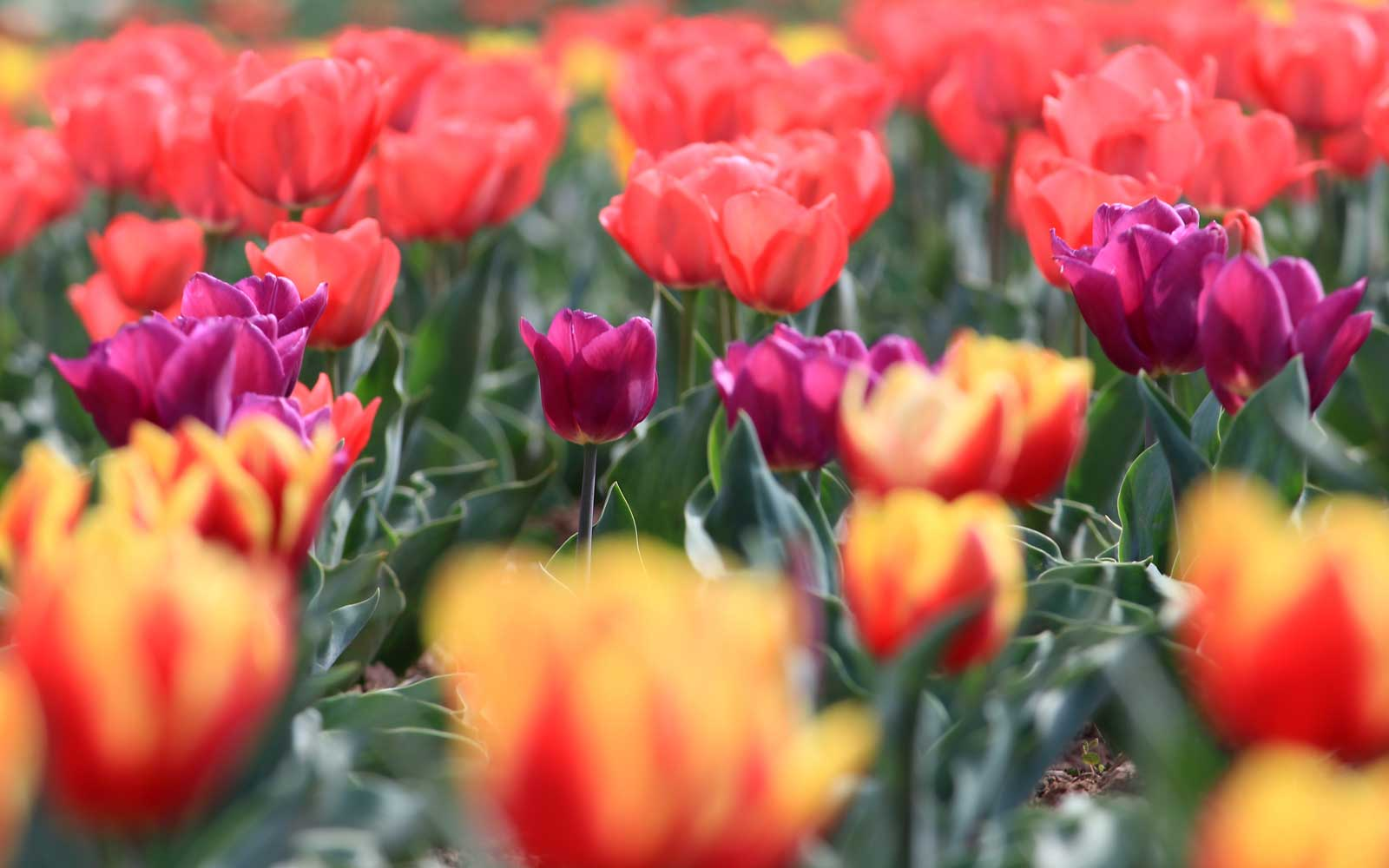 Asia's Largest Tulip Garden Is in Full Bloom and You Need to See the Colors