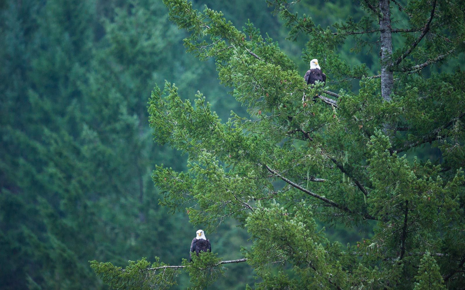 Squamish River Brackendale Vancouver British Columbia Bald Eagle
