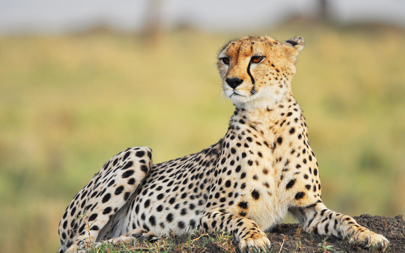 A Man on Safari Captured the Moment a Cheetah Jumped Into His Car