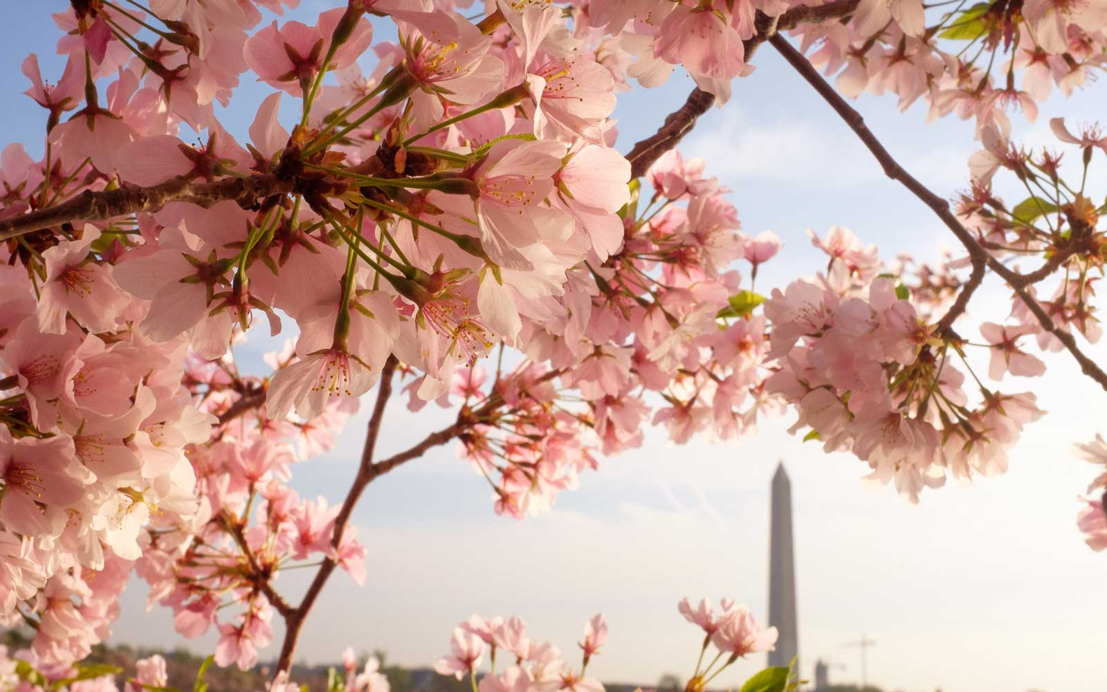 Washington D.C. Cherry Blossoms with Washington Monument in Background