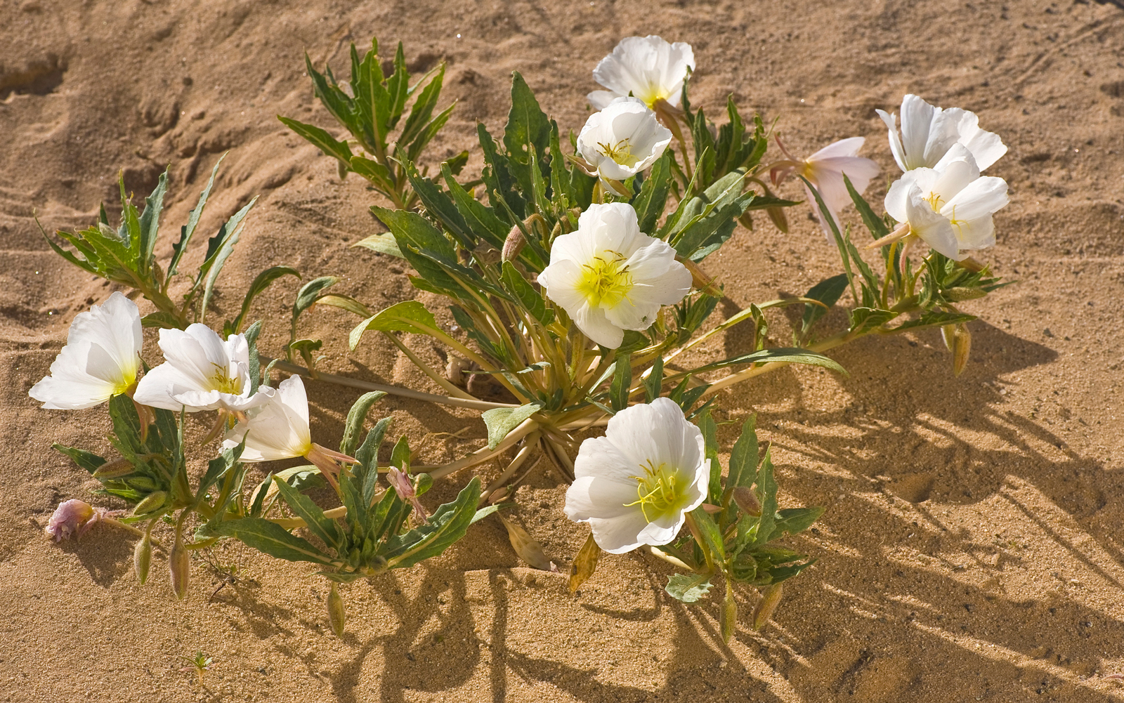 A Rare Wildflower That Only Blooms in Death Valley Was Saved From Extinction