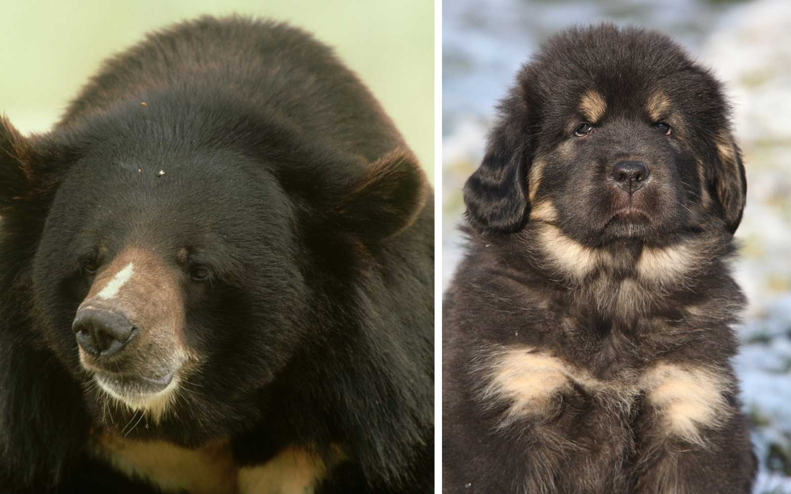 Family Thought They Bought a Puppy on Vacation, but It Was Really a Bear