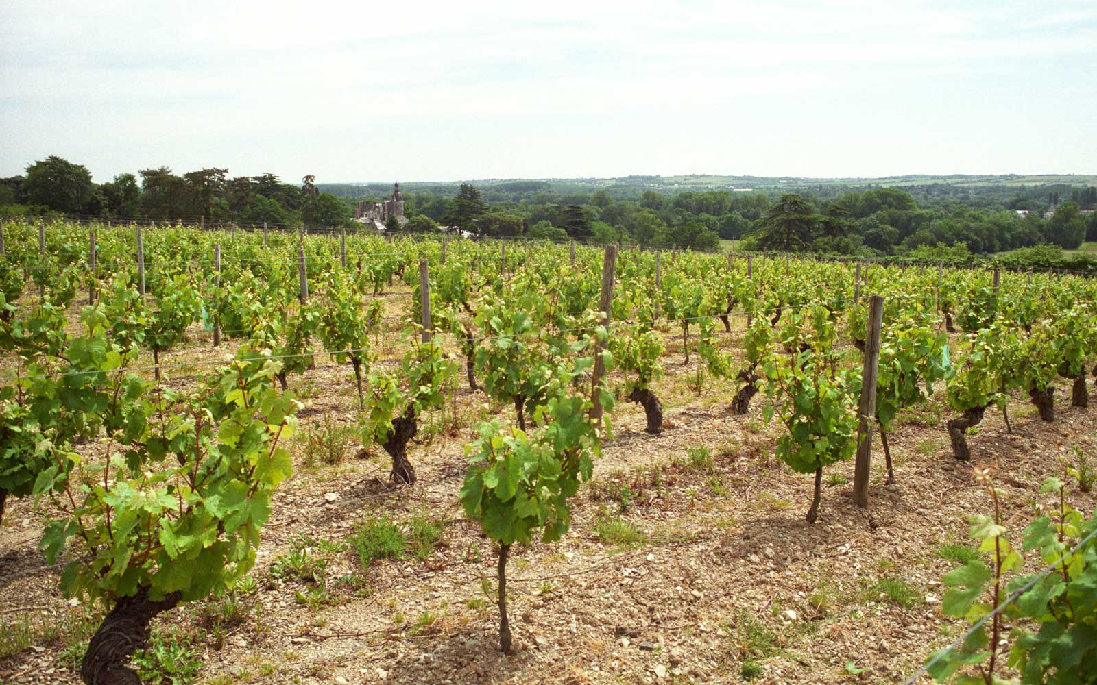 Vineyard. Domaine du Closel, Savennieres, Loire, France