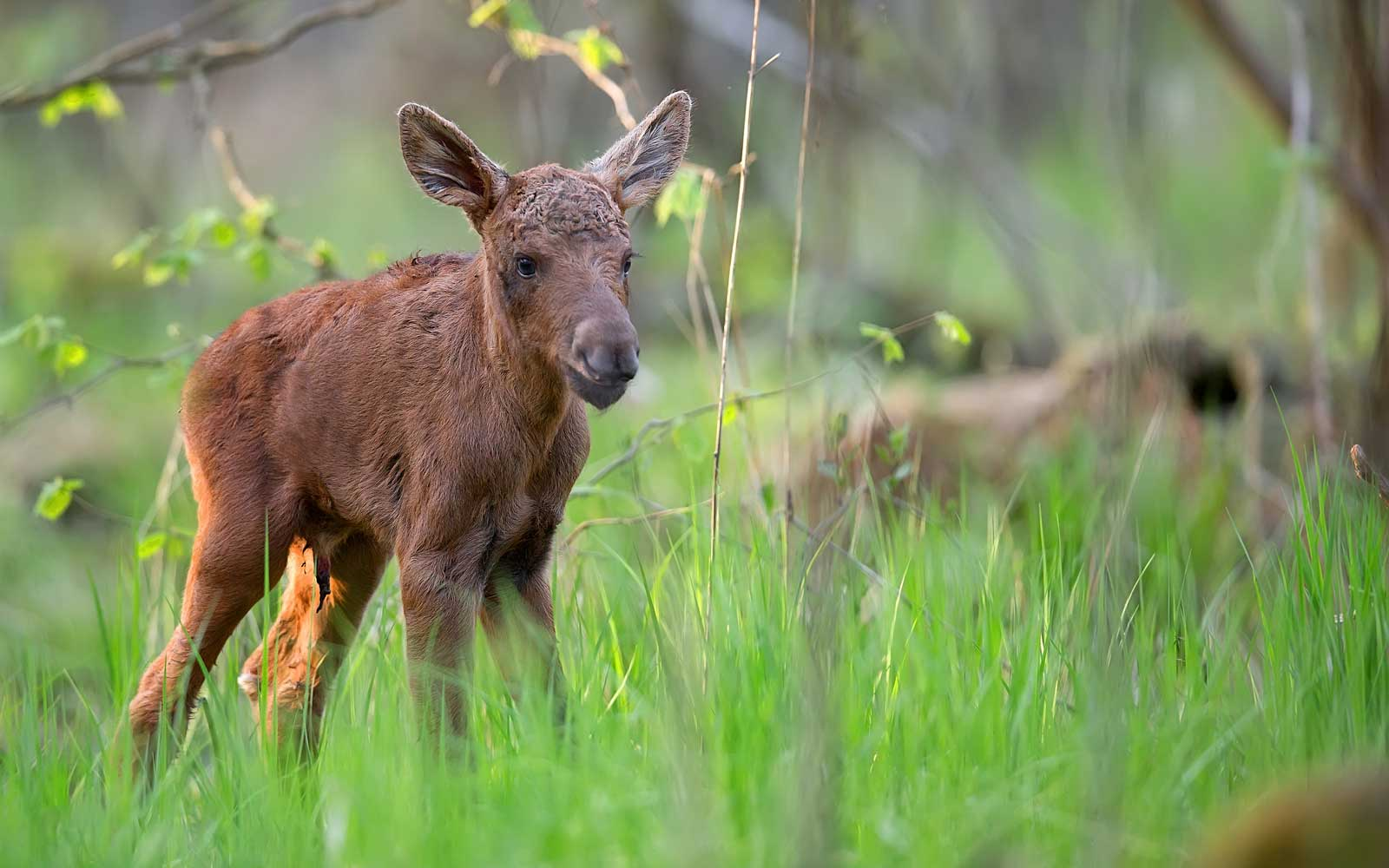 Curious Dog Finds Lost Baby Moose, Immediately Decides It's His Best Friend