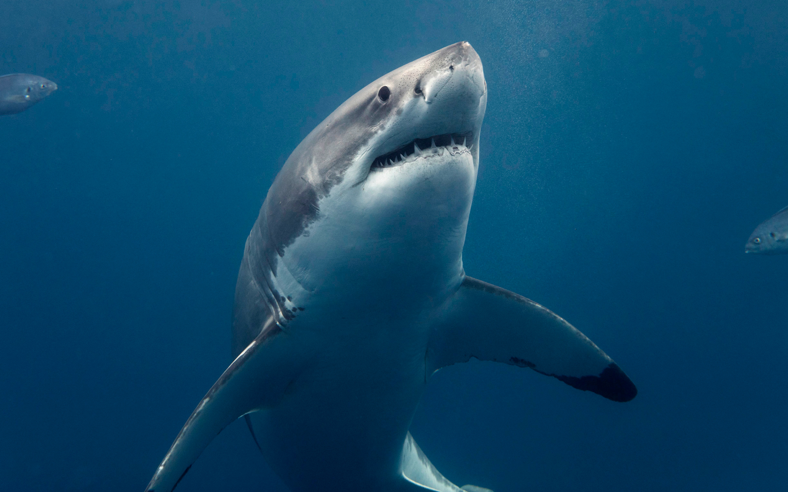 Great White Shark in Western Australia