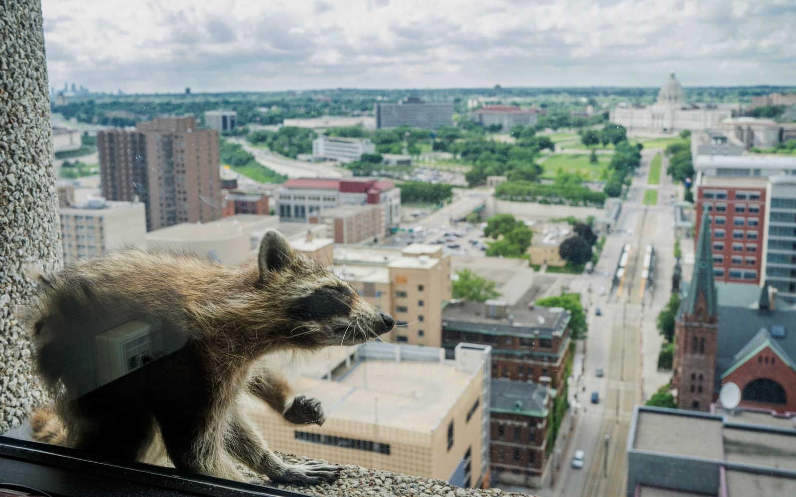 A raccoon stretches itself on the window sill of the Paige Donnelly Law Firm on the 23rd floor of the UBS Tower in St. Paul, Minn., Tuesday, June 12, 2018.