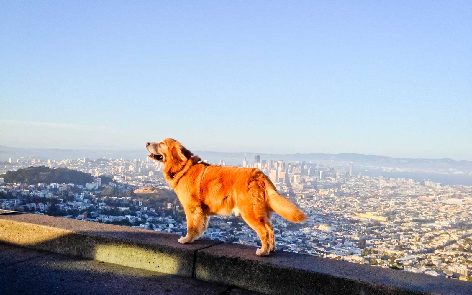 Dog Enjoying San Francisco view from Twin Peaks