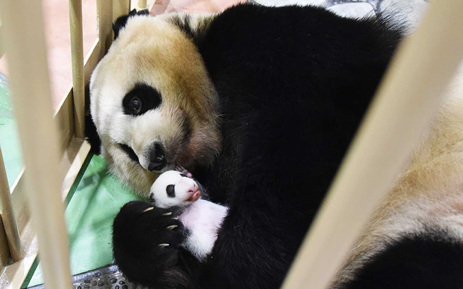 Japan Has a New Baby Giant Panda — and They Want You to Help Name It