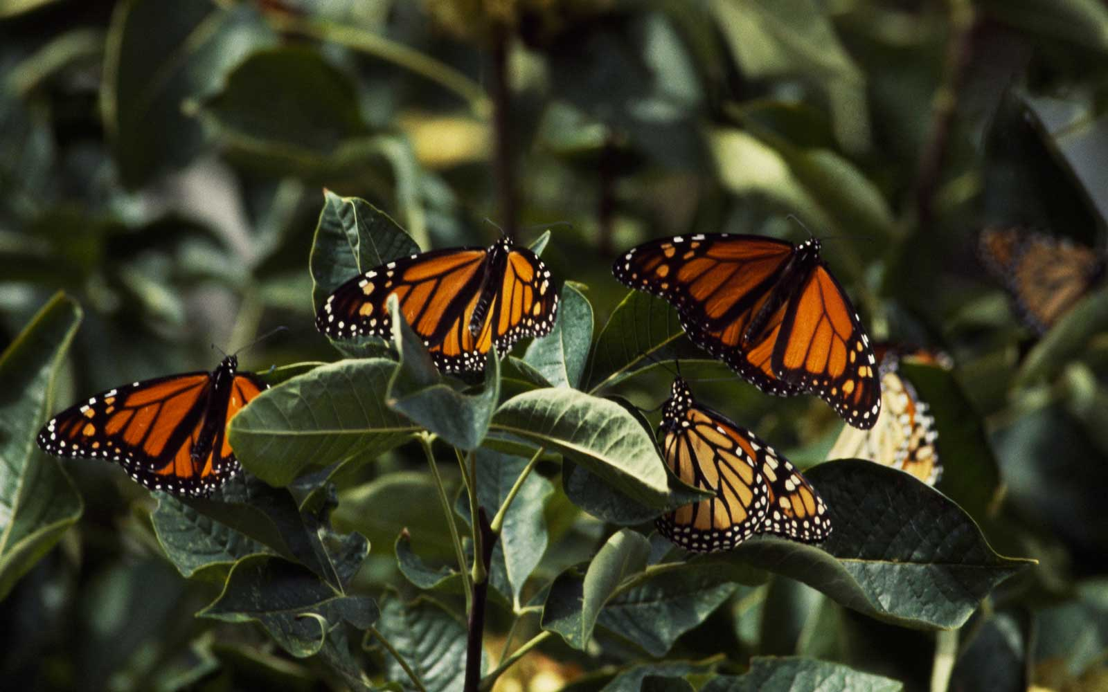 Monarch butterfly (Danaus plexippus), Nymphalidae, Point Pelee National Park, Canada