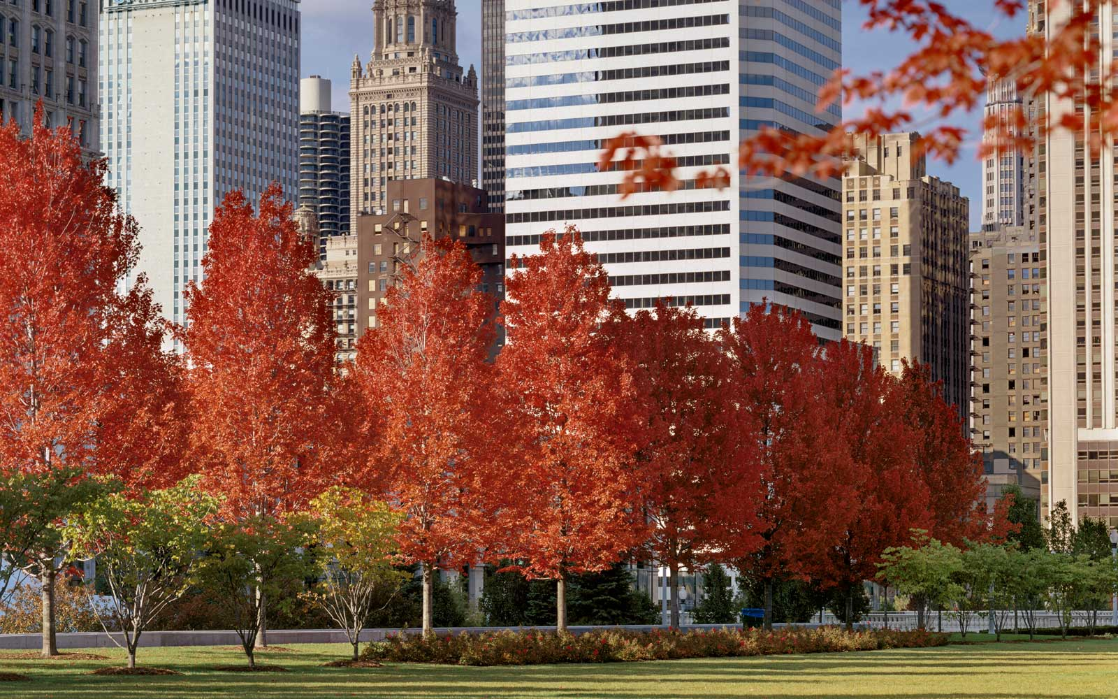 Fall trees in Millennium Park in Chicago