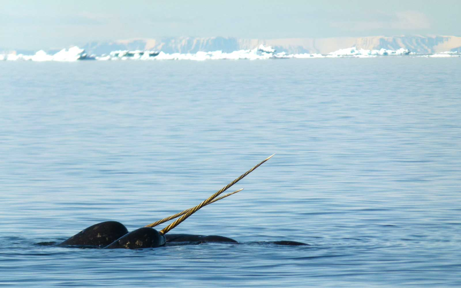 Narwhal, Arctic Kingdom